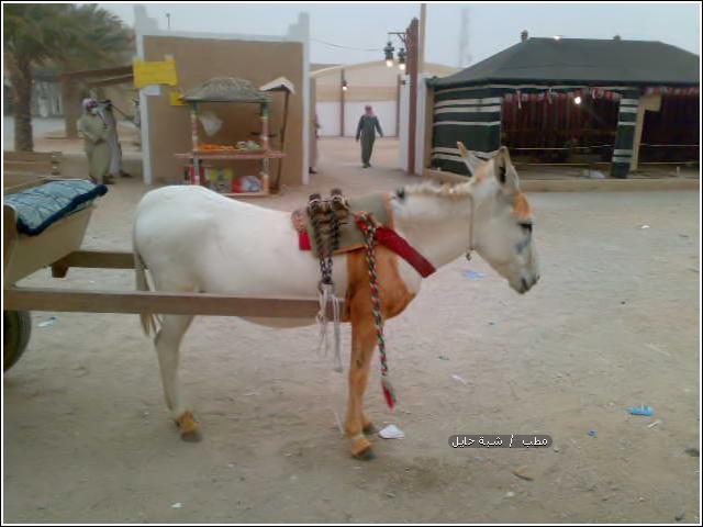 حمار حساوي ينتظر حقه في الطريق